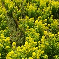 Photos: 春の香り~菜の花畑 2021-d