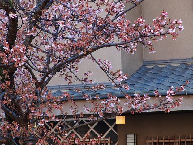 熱海桜も頬を染めお出迎え