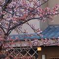 Photos: 熱海桜も頬を染めお出迎え