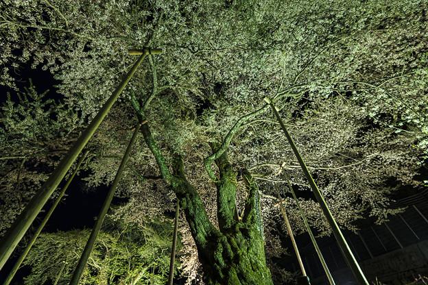 写真: 荘川桜1