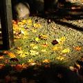 Photos: 黄色くても紅葉?