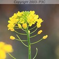 Photos: 春つげ花
