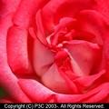 Photos: 薔薇 4