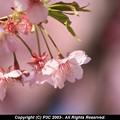 Photos: 河津桜 2