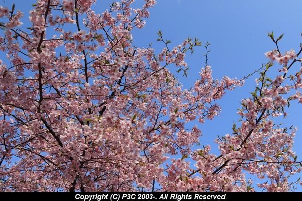 Photos: 河津桜 3