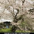 田舎の駅で桜を