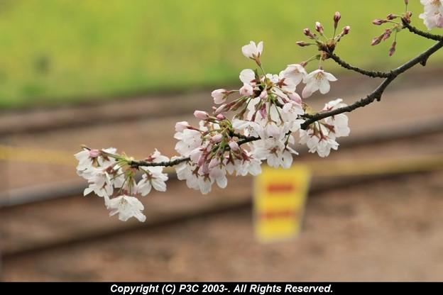 桜は終わりだけど線路は続くよ
