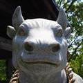 Photos: 神社の守り牛
