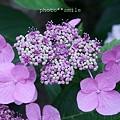 2008_06 紫陽花