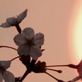 Photos: 桜と朝日