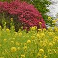 Photos: 菜の花と花桃