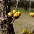 Photos: 春黄金花
