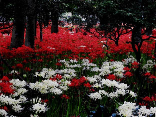 紅白の彼岸花