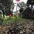 茎の長い彼岸花