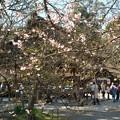 写真: 京都、平野神社(1)H29,4,4