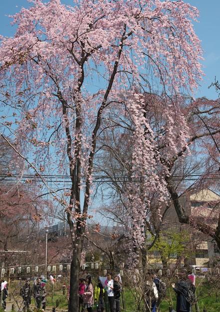 写真: 京都、平野神社(3)H29,4,4