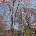 京都、平野神社(3)H29,4,4