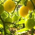 朝のミニトマト H29,7,26