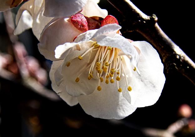 Photos: 白梅 H30,318