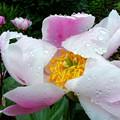 写真: 咲いたけど H30,5,18