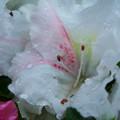 写真: アザレア(セイヨウツツジ)H30.6.11