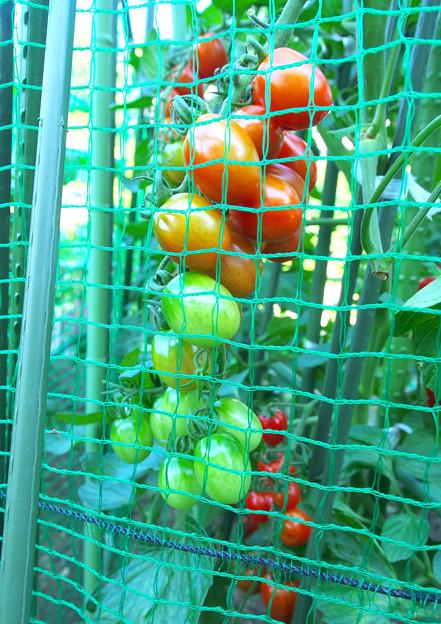 網の中のミニトマト H30,7,16
