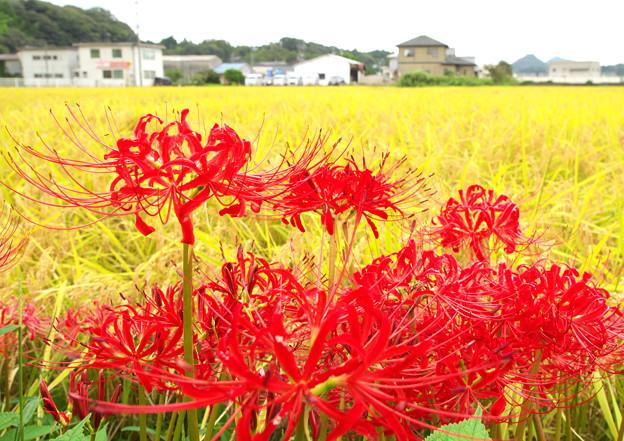 写真: 彼岸花(1)H30,9,20