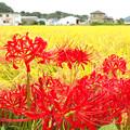 Photos: 彼岸花(1)H30,9,20