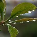 写真: 雨雫 H30,9,22