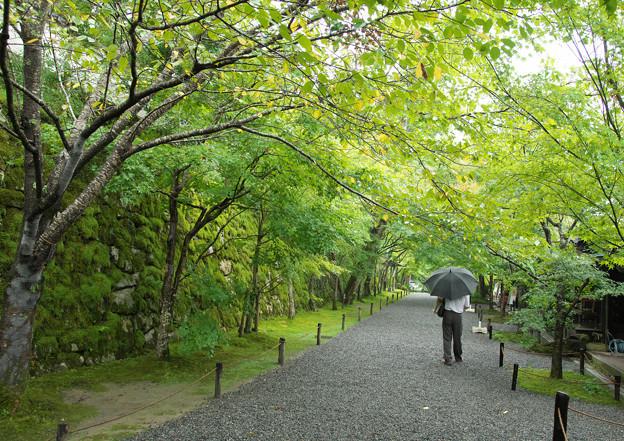 緑の桜並木 H30,9,25