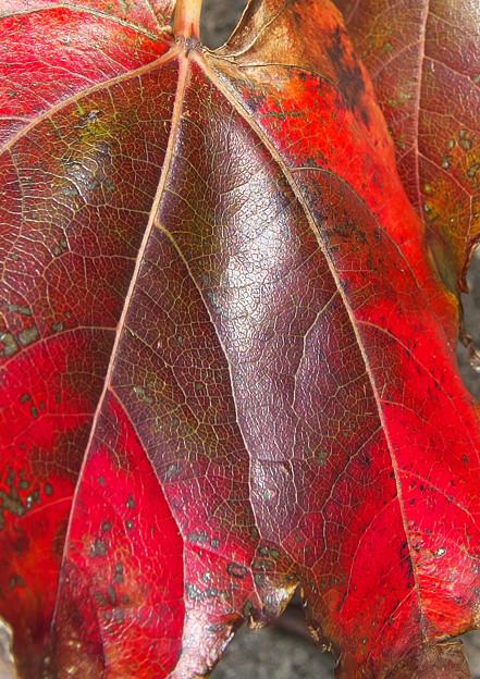 ツタの紅葉 H30,10,31