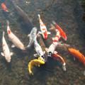 永観堂(4)放生池の鯉 H30,11,21
