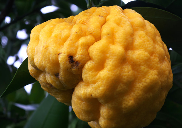 ぶさいくな大柚子