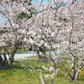 玉若酢命神社の桜(1)
