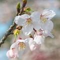 玉若酢命神社の桜(2)