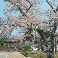 Photos: 隠岐国分寺(1)参道の桜