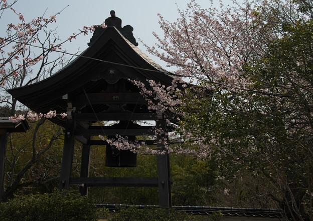 Photos: 隠岐国分寺(2)鐘楼と若櫻