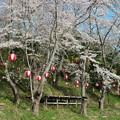 プールの桜(1)