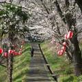 プールの桜(2)