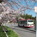 バス停の桜(1)