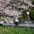 バス停の桜(2)