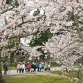 玉若酢命神社の桜(3)