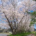 八郎橋の桜