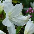 春雨のツツジ