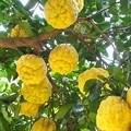 大柚子(1)
