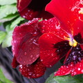 雨上がりのビオラ(2)