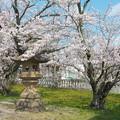 玉若酢命神社(1)桜と燈籠