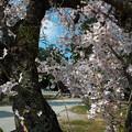 玉若酢命神社(2)古木の桜
