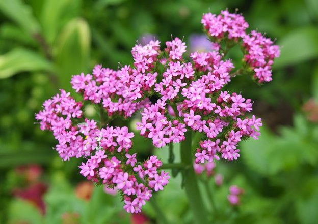 自宅庭の花、 私の名は? シモツケ でした。