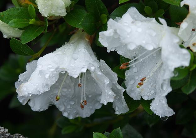 自宅庭、雨上がりのツツジ(1)